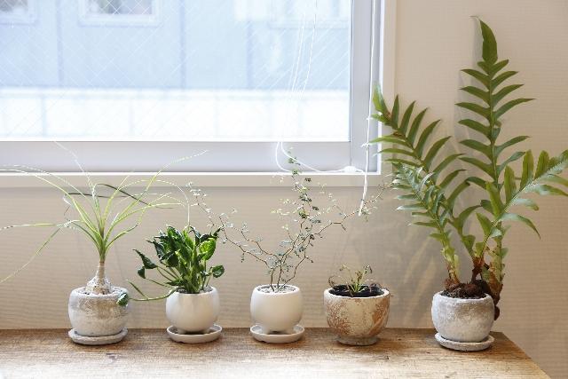 ホルムアルデヒド対策の観葉植物