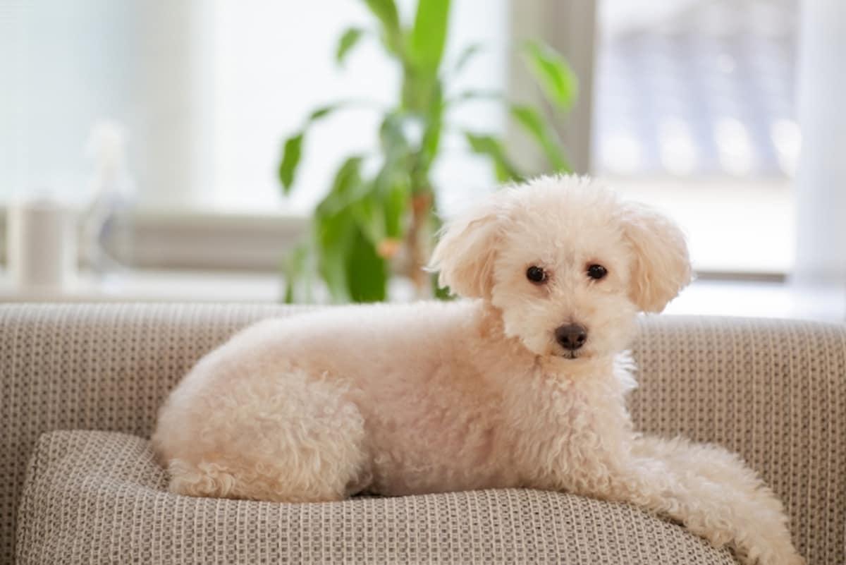 布地のソファに座る犬