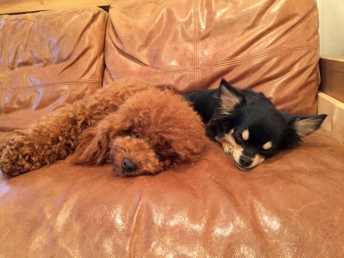 天然皮革のソファでくつろぐ2匹の犬