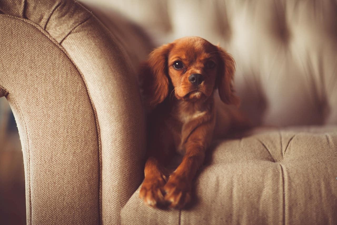ソファに座る小型犬